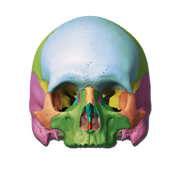 Skull Labeling Quiz