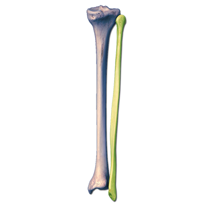 tibia fibula